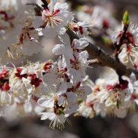 Яблони в цвету :: Сергей Беляев