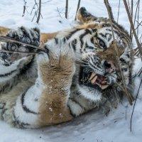 Тигр Жорик :: Anna Chepkova