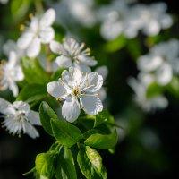 майский цвет :: Ольга (Кошкотень) Медведева