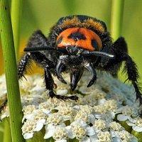 """Megascolia maculata: """"Он ужасен, но прекрасен!"""" :: Vit"""