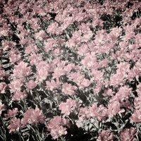 Pink. :: Андрий Майковский