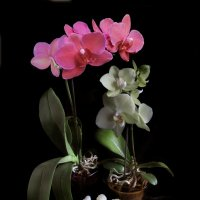 Орхидеи цветут. :: Nata