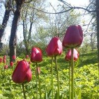 Tulpių metas :: silvestras gaiziunas gaiziunas