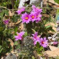 Маммилдярии цветут :: Александр Деревяшкин