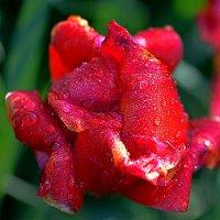 Тюльпан после дождя :: Асылбек Айманов