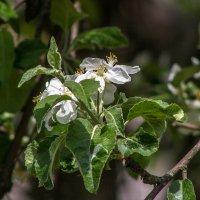 весенние цветы IMG_5173 :: Олег Петрушин