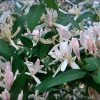 Весенний праздник цветения жимолости :: Нина Корешкова