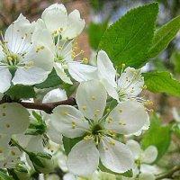 Весеннее цветение вишни :: Елена Семигина