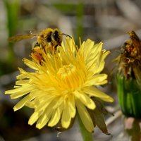 Пчелка :: Юрий Бичеров