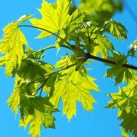Клёновые листья :: Swetlana V