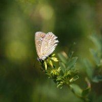 Polyommatus icarus :: Никита Оберник