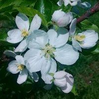 Яблоня в цвету. :: Чария Зоя