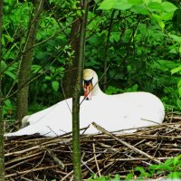Самка на гнезде. :: vodonos241