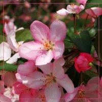 Цветущая яблоня :: Дубовцев Евгений