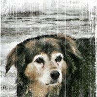 Отчего у собак жизнь собачья..? :: Сергей Беличев
