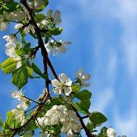 Один раз в год сады цветут... :: san05   Александр Савицкий