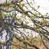 в березовых ветвях :: оксана