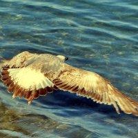 Черноморская чайка :: Vladimir Lisunov