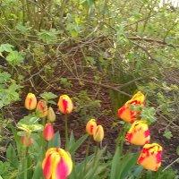 Тюльпаны в нашем дворе. (СПб, май 2018 год). :: Светлана Калмыкова