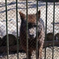 Серый волк :: Лариса