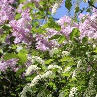 Расцвела сирень-черёмуха в саду :: Анатолий Кувшинов