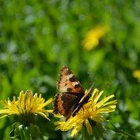 Бабочка :: Сергей Щеглов