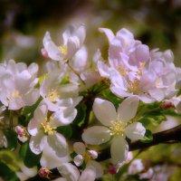 Яблони цвет :: Наталья Лакомова