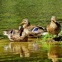Кряква на реке. :: vodonos241