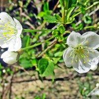 Цвет вишни :: Лариса