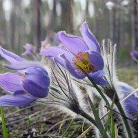 Подснежник-цветок :: Вячеслав