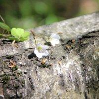 Первые лесные цветочки. :: Лариса Исаева