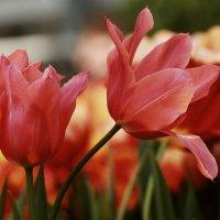 Весна тюльпанная :: ZNatasha -