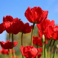 Майский парад тюльпанов :: Татьянка *