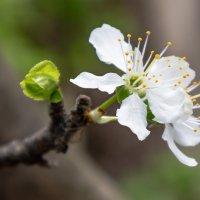 Весенний цветок :: Cтанислав Анатольевич Курбатов