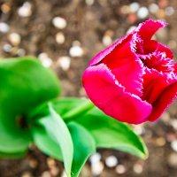 Весенний цветок - тюльпан :: Cтанислав Анатольевич Курбатов