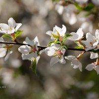 Цвет вишни :: Александр Синдерёв