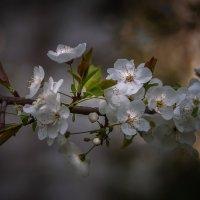 Цветы дикой сливы :: Александр Попович