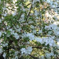 цветение :: Светлана Рябова