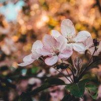 цветение :: Ольга (Кошкотень) Медведева