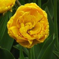 Жёлтый :: Вероника
