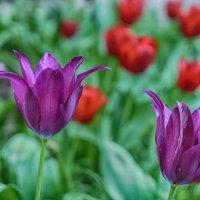Время тюльпанов... :: марк