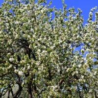 Яблоня в цвету :: Татьяна Лобанова