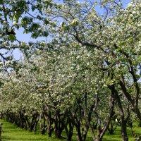 Один раз в год сады цветут :: Татьяна Лобанова