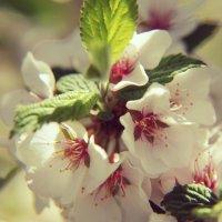 Вишня в цвету :: Наталья Ястребова