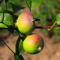 Яблочки наливные :: Анатолий Иргл