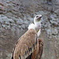 Гриф - гордая птица :: Леонид leo