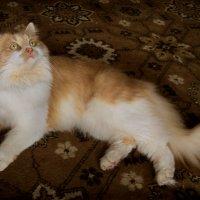 Кошка Алиса. фото-3. :: Nata