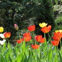 Тюльпаны и весна :: Валюша Черкасова