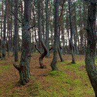 Танцующий лес :: Сергей Карачин