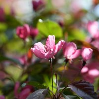 Яблоня цветет :: Наталья Булыгина (NMK)